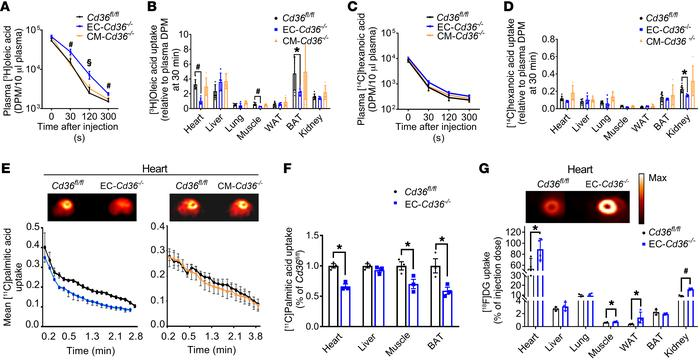 EC-Cd36–/– mice have reduced tissue LCFA uptake during fasting. (A–D) Up...