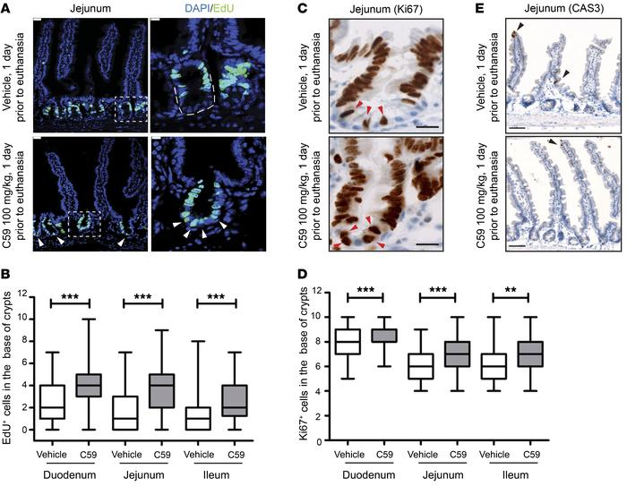 Wnt inhibition enhances proliferation of intestinal stem cells. (A) C59 ...