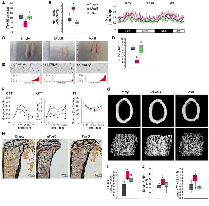 AP1 antagonism in POMC neurons increases energy expenditure and elevates...