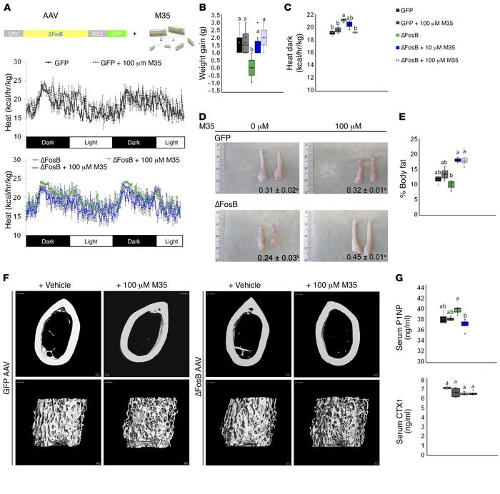 Blockade of galanin receptors in the VHT of WT C57BL mice prevents ΔFosB...