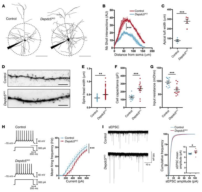 Morphological and functional changes in Depdc5fKO neurons. (A) Neuronal ...