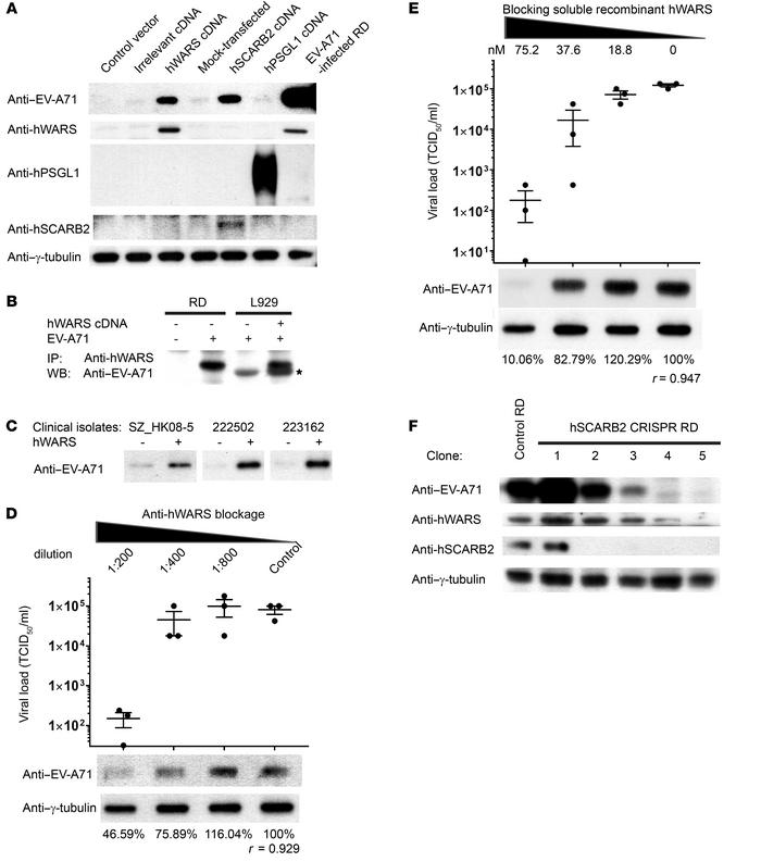 hWARS interacts directly with EV-A71. (A) cDNA-transfected L929 cells we...