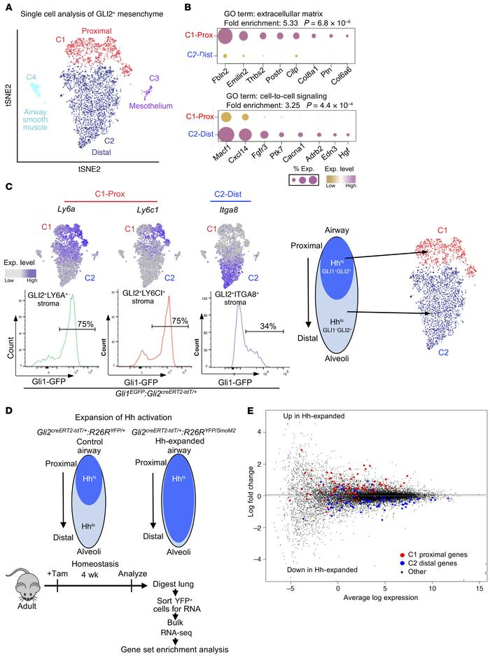 Single-cell analysis of GLI2+ mesenchyme in the adult lung. (A) Unbiased...