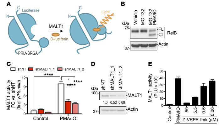 Development of a cell-based MALT1 protease reporter assay. (A) Schematic...