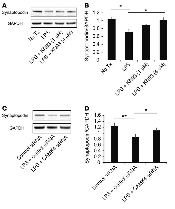 Inhibition or silencing of CaMK4 preserves synaptopodin expression. (A) ...