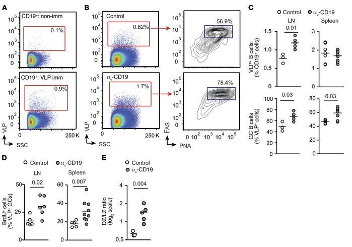 Increased GC B cells in αv-CD19 mice immunized with TLR ligands. (A) FAC...