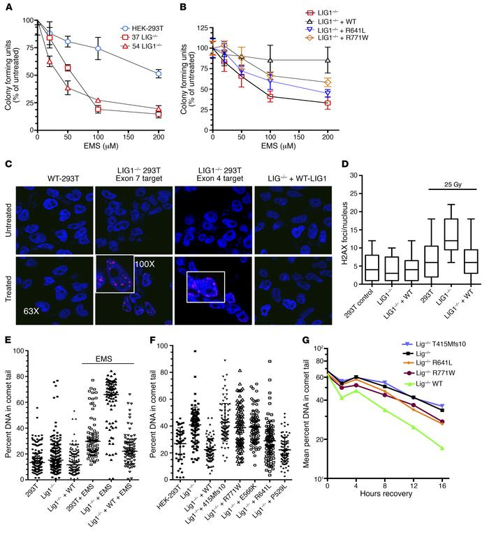 Defective repair of LIG1–/– HEK-293T and mutant cells. (A) LIG1–/– clone...