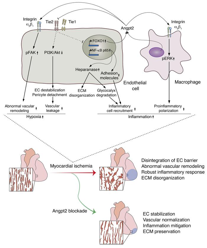 Schematic diagram depicting the roles of Angpt2 in exacerbating cardiac ...
