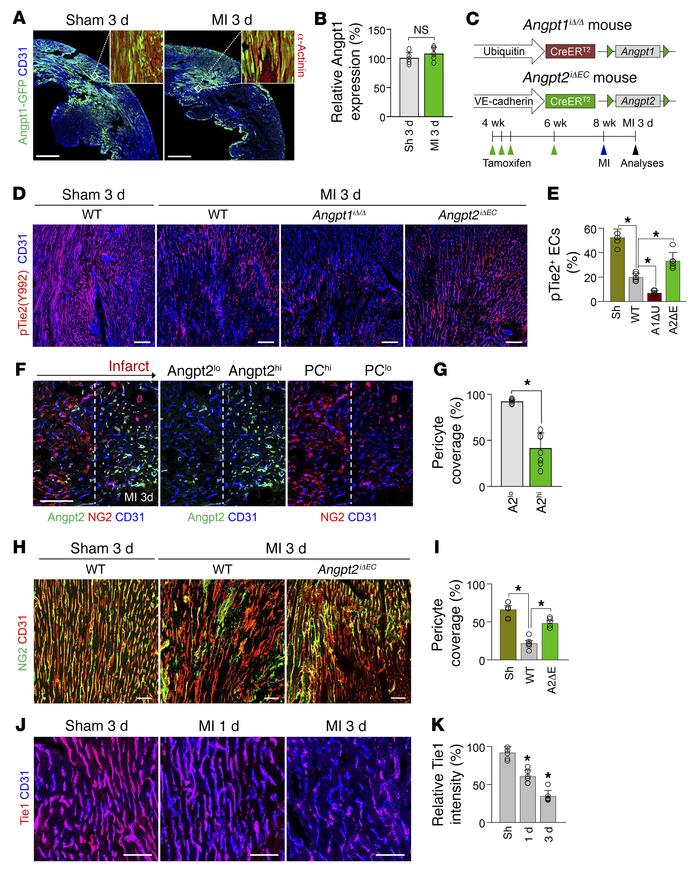 Angpt2 destabilizes endothelial integrity of ischemic heart by antagoniz...