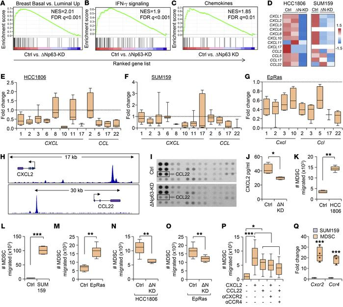 ΔNp63 directly regulates CXCL2 and CCL22, promoting MDSC recruitment in ...
