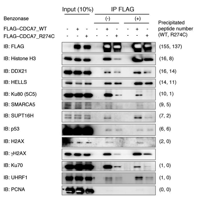HELLS and C-NHEJ proteins Ku80 and Ku70 coimmunoprecipitate with CDCA7. ...