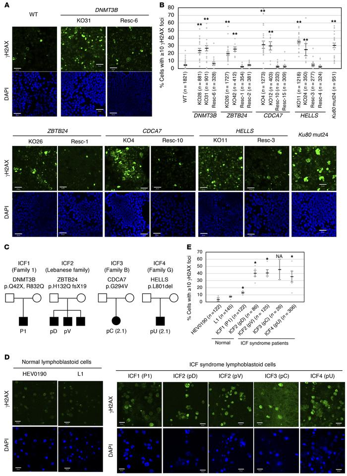 ICF mutant cells and ICF lymphoblastoid cells accumulate γH2AX. (A) Repr...