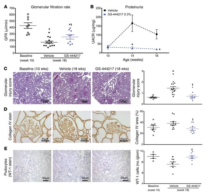 GS-444217 halts the progressive decline of renal function in a mouse mod...