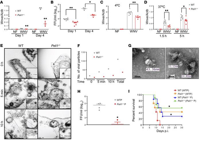 Peli1 facilitates WNV replication in macrophages and promotes high morta...