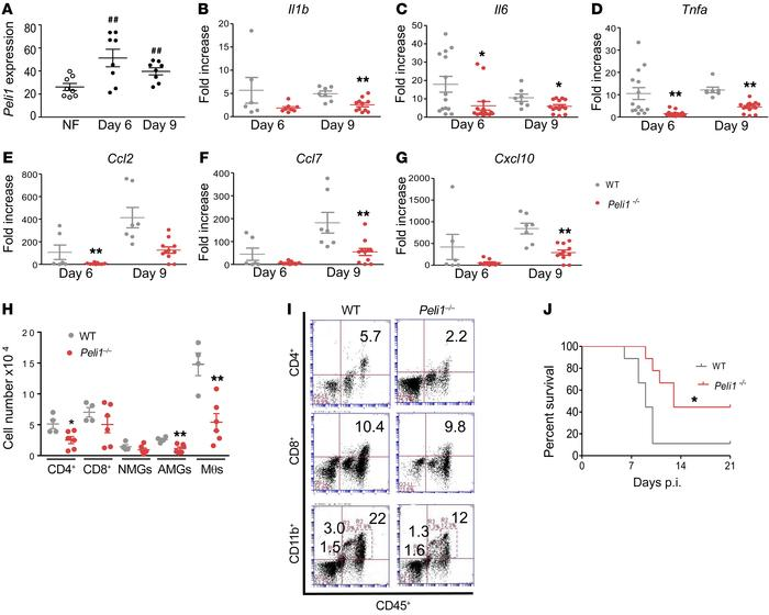 Peli1 mediates neuroinflammation in the CNS after WNV infection. (A) RN...