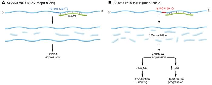 Proposed link between microRNA-dependent regulation of SCN5A and disease...