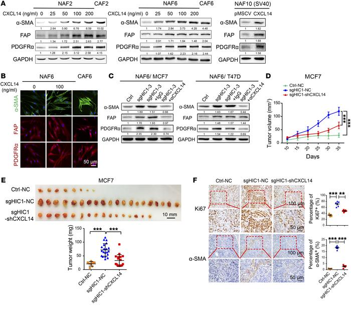 CXCL14 derived from HIC1-deleted BrCa cells mediates the activation of m...