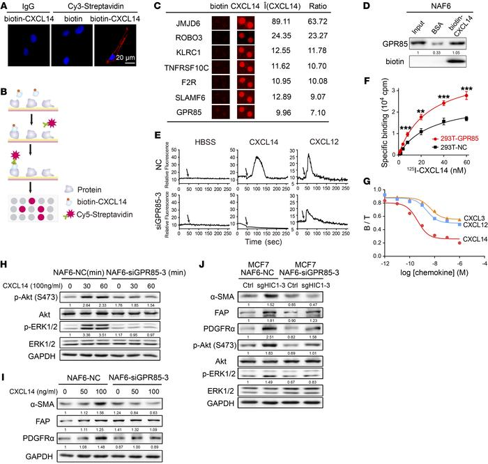 GPR85 is a functional receptor for CXCL14 activity. (A) Confocal microsc...